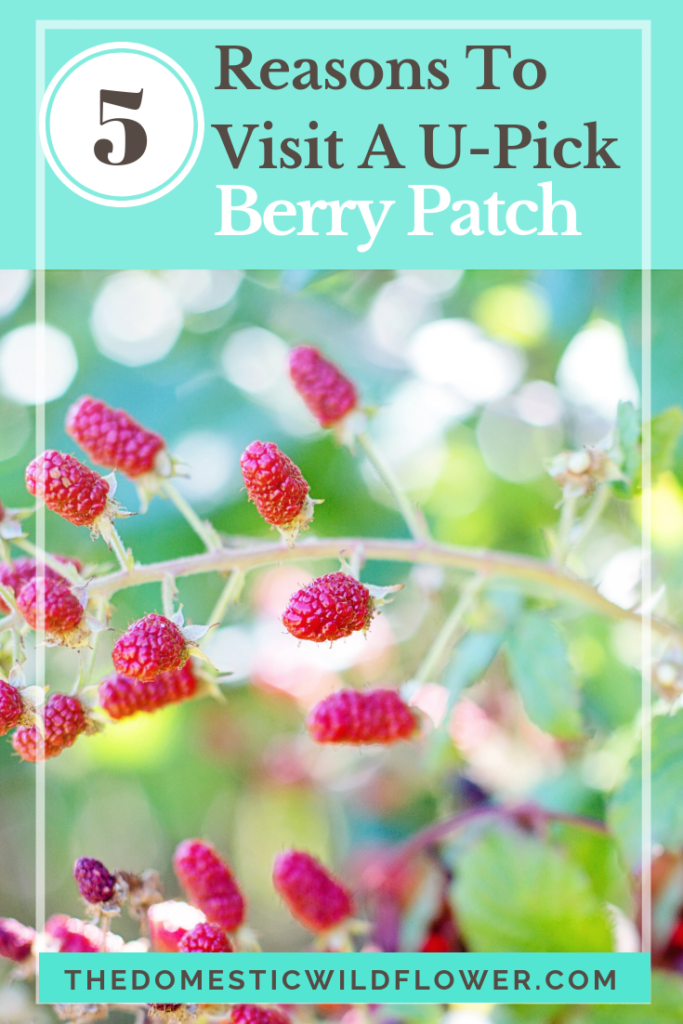 5 Reasons to Visit a U-Pick Berry Patch